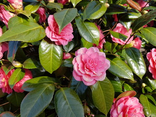 Pink flowers of the Camellia japanese Rose plant during springtime.