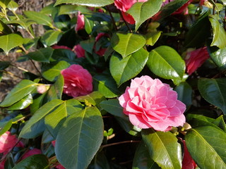 Pink flowers of the Camellia japanese Rose plant during springtime