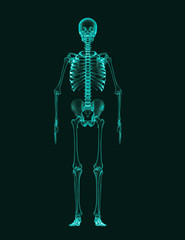 X-Ray effect image of complete human skeleton viewed from the front