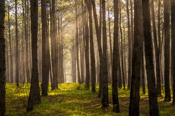 Rays in pine forest Dalat- LamDong - Vietnam