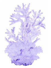 high dense blue isolated coral