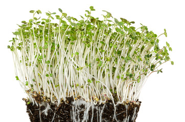 White mustard seedlings in potting compost with fine roots. Sprouts, vegetable, microgreen. Shoots and cotyledons of Sinapis alba. Yellow mustard. Edible herb. Macro food photo front view over white.