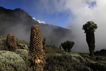 Giant groundsels growing at 4000 metres on the slopes of Mount Kilimanjaro, Tanzania, East Africa, Africa
