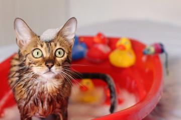 Funny cat taking a bath