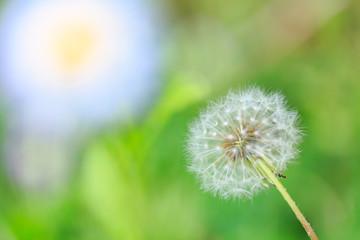 植物 花 たんぽぽ