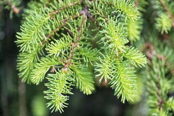 Aghi di pino su un ramo