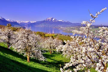Ausblick auf blühende Kirschbäume am Vierwaldstättersee mit Berg Pilatus in der Schweiz