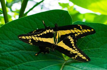 Two Butterflies, One Leaf