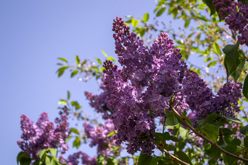 Flowering lilac bushes against a blue sky background. Natural pattern.