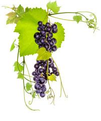 Wall Mural - grappe de raisin rouge et pampres de vigne