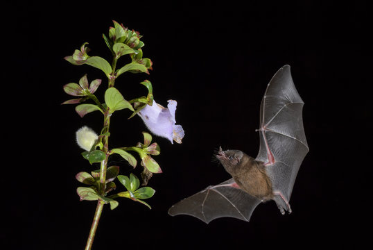 Orange Nectar Bat - Lonchophylla robusta, new world leaf-nosed bat feeding nectar on the flower in night, Central America forests, Costa Rica.