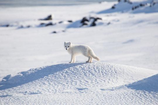 Lis polarny w zimowej szacie