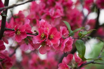 Pink tree flowers in spring