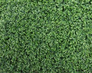 Plant cover of selaginella