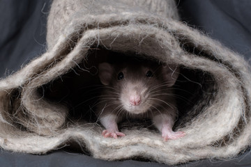 rat on a dark background