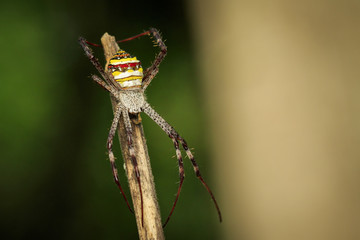 Image of multi-coloured argiope spider (Argiope pulchellla) Insect, Animal.