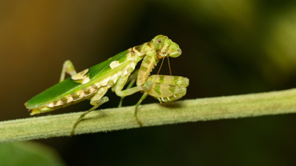 Image of flower mantis(Creobroter gemmatus) on branches. Insect. Animal.