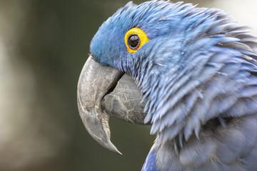 Lears Macaw (Anodorhynchus leari)