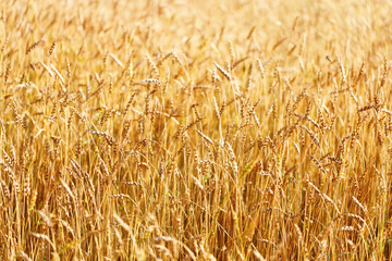 Ears of wheat field. Rural field landscape. Picturesque scenery. Rich harvest concept.
