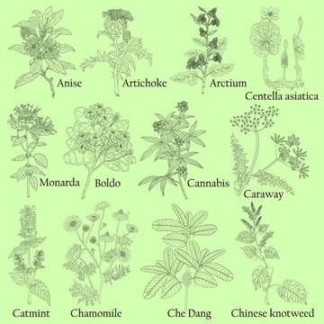 Herbal. Illustration of a plants in a vector with flower for use in the cooking of medicinal herbal tea. Also for coloring book or for studying botanical properties.