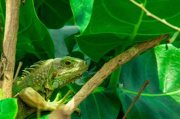 Iguana, Lizard
