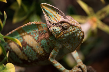 Exotic pet lizard on natural background, defocused. Chameleon on branches