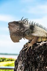 Iguana in profile