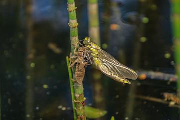 Zangenlibelle, Libelle, Häuting