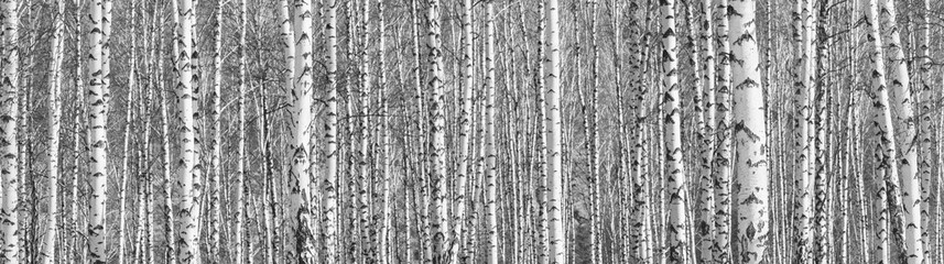 Foto op Canvas Donkergrijs Birch grove on a sunny spring day, landscape banner, huge panorama, black-and-white