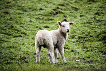 Lamb in grassy field