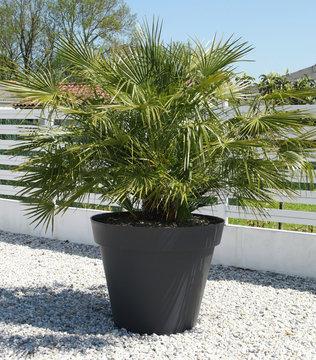 Palmier Chamaerops excelsa