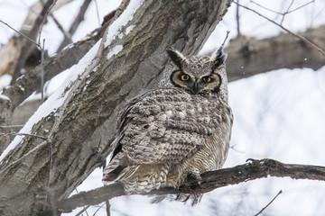 great horned owl (Bubo virginianus) in winter