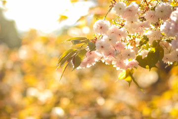 Flowering cherry branches in the sun, pink flowers on a blurry background, sunny morning in the garden, blank for the designer, copy space, natural background with green leaves, toning