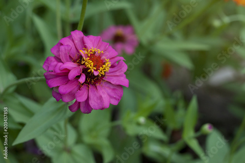 Beautiful single zinnia flowers pink color blooming in