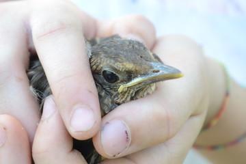 piccolo merlo caduto dal nido