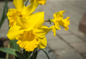 Fresh large spring yellow daffodils in the garden