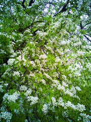 May day. Snow-white flowers blossomed on the pear tree.