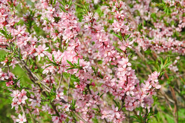 Almonds (Prunus dulcis) in bloom. Tree branches covered with many pink flowers