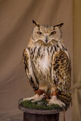 Canvas Prints Owls cartoon Cetrería