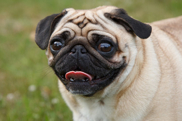 Small pug dog standing in green grass