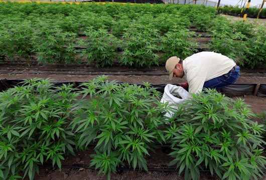 A man gathers marijuana plants for medicinal use at the company Pharmacielo in Rionegro