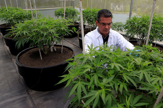 Marcelo Antunes de Siqueira, director of operations at Pharmacielo, reviews a marijuana crop for medicinal uses in Rionegro