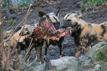 African hunting dog pack eating horse carcas