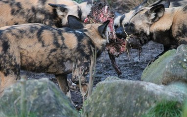 African hunting dog pack eating horse carcas fighting