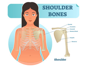 Labeled human shoulder bone anatomical vector illustration diagram poster.