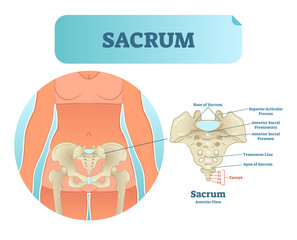 Human sacrum bone structure diagram, anatomical vector illustration labeled scheme with bone sections.