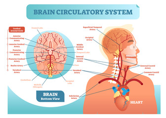 Brain circulatory system anatomical vector illustration diagram. Human brain blood vessel network scheme. Cerebral medicine information.