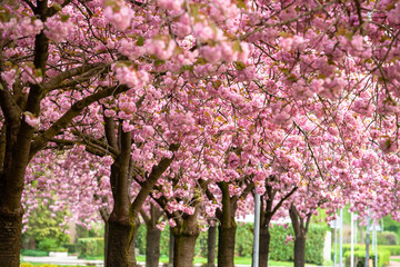 Pink cherry blossom (prunus) to brown branches in an orchard.