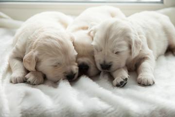 three puppies of breed golden retriever sleep on the windowsill