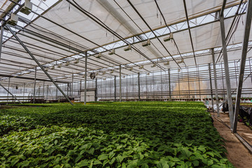 Modern hydroponic greenhouse or glasshouse, cultivation and growing of ornamental plants and flowers for gardening